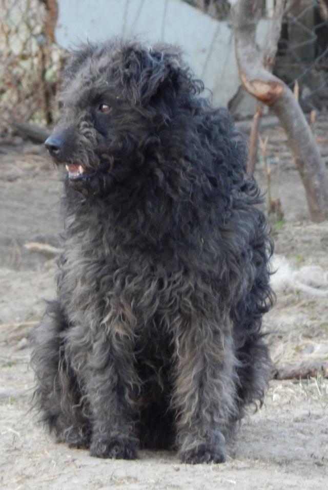 CUPKO croisé chien d'eau - SERBIE 53913810