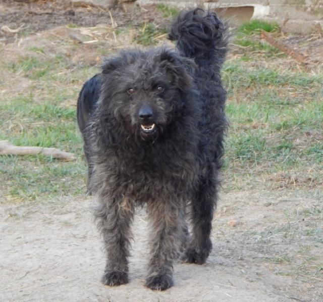CUPKO croisé chien d'eau - SERBIE 54278510