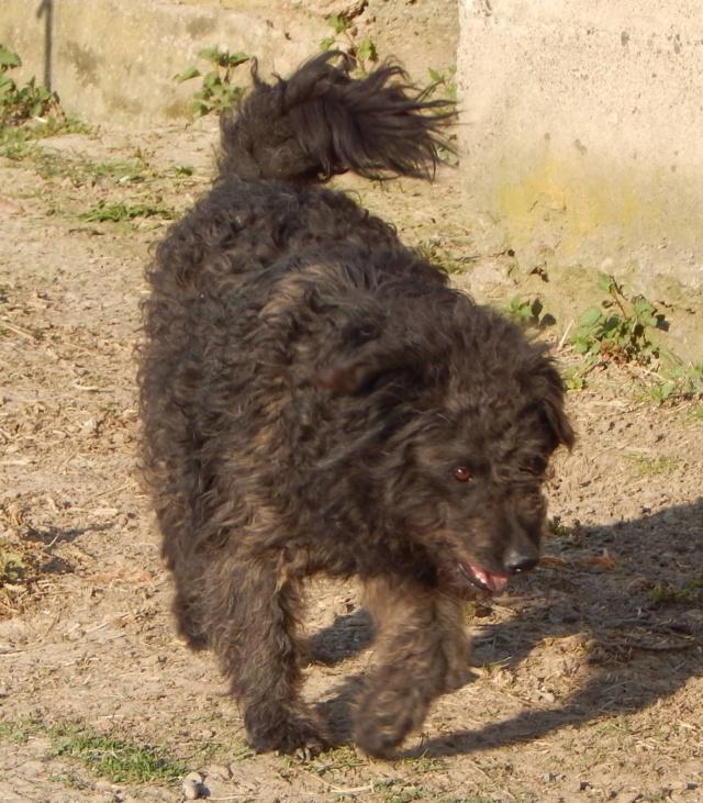 CUPKO croisé chien d'eau - SERBIE 55759910