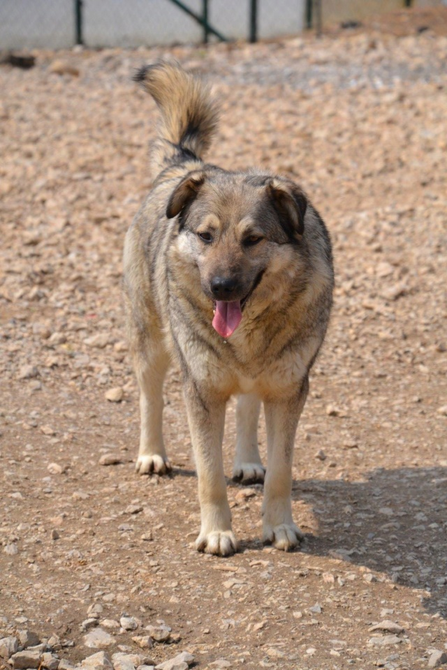 STARK superbe croisé chien loup tchécoslovaque - SERBIE 57052211
