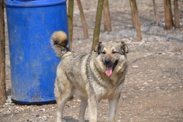 STARK superbe croisé chien loup tchécoslovaque - SERBIE 57540110