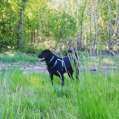 ALIB un chien merveilleux - BULGARIE 60023810