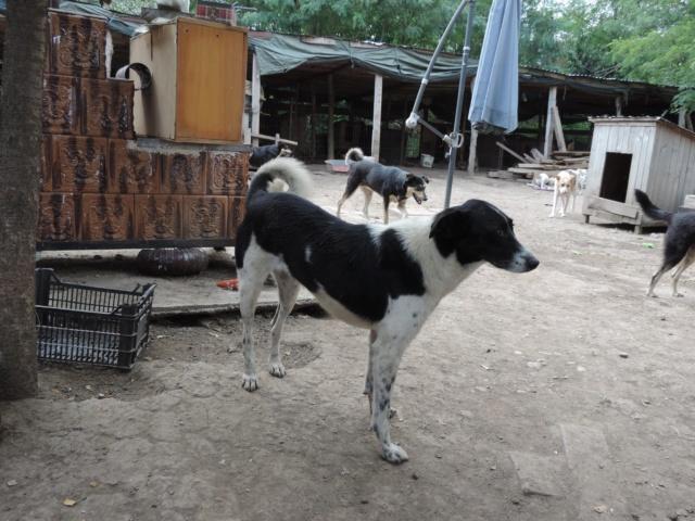 GAYA- femelle noire et blanche née en 2013- parrainée par Skara - SC-SOS-R- - Page 4 42911010