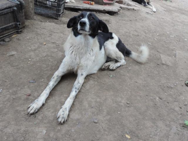 GAYA- femelle noir et blanc née en 2013- parrainée par Skara - SC-SOS-R- - Page 4 42935510