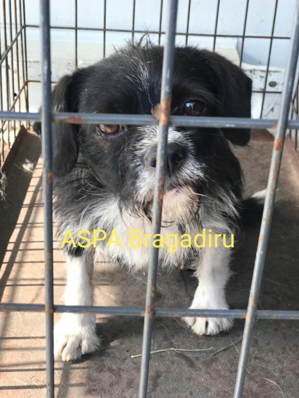 PICOLO - petit chien noir et blanc 7 ans - Asso Arche d'Eternité - Lenuta (Roumanie) 9bb37c10