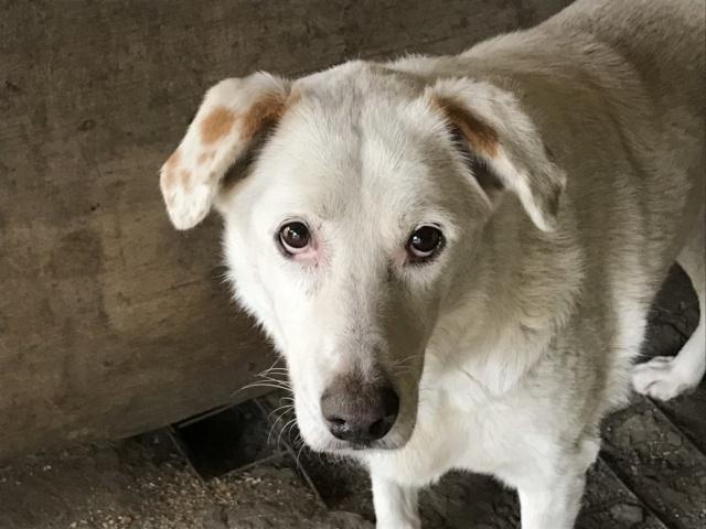 TILGA - x labrador blanc 8 ans   (4 ans de refuge) - Asso Arche d'Eternité - Lenuta (Roumanie)  Img_1715