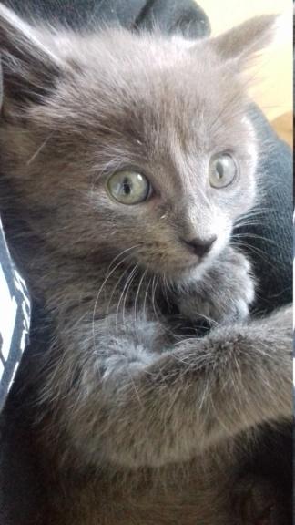 Ombrelle, chatonne grise type européenne née le 27.08.18 20181037
