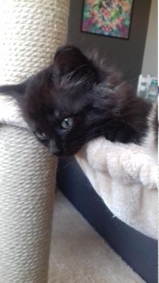 Octavia, chatonne noire poils longs née le 27.08.18 20181041