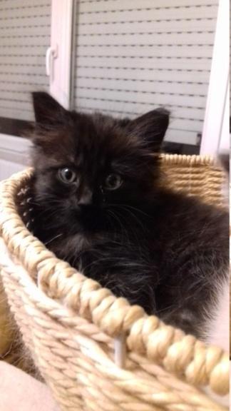 Octavia, chatonne noire poils longs née le 27.08.18 20181042