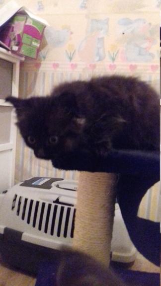 Octavia, chatonne noire poils longs née le 27.08.18 20181043