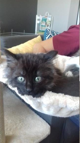 Octavia, chatonne noire poils longs née le 27.08.18 20181044