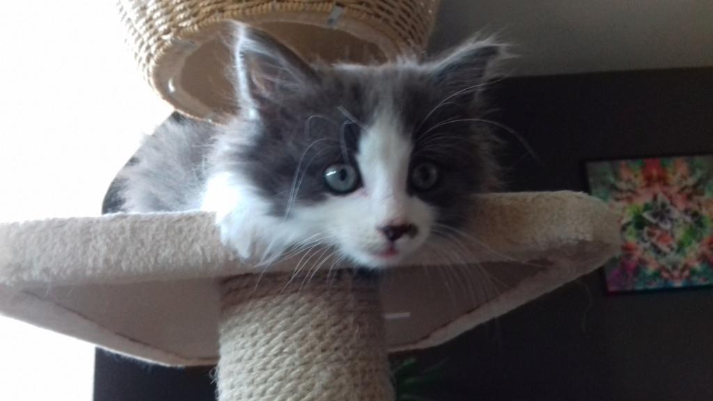 Oberyn, chaton blanc et gris poils longs, né le 27.08.18 20181053