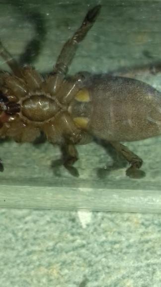 Drassodes , (mâle femelle) 20190417