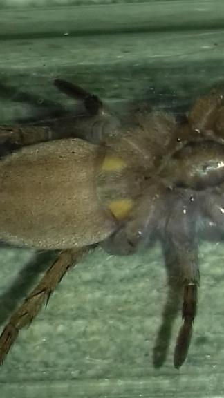 Drassodes , (mâle femelle) 20190419