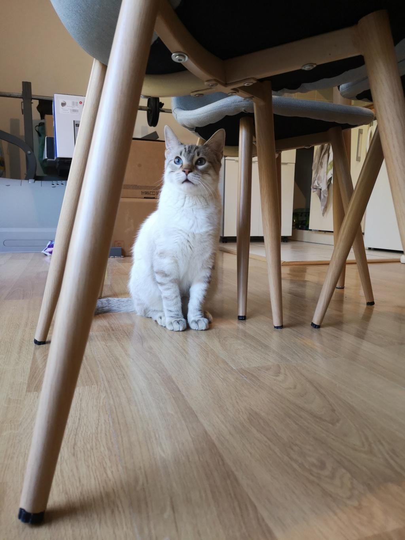 ORPHEE, chaton mâle, beige Tabby, né le 01/05/18 15424510