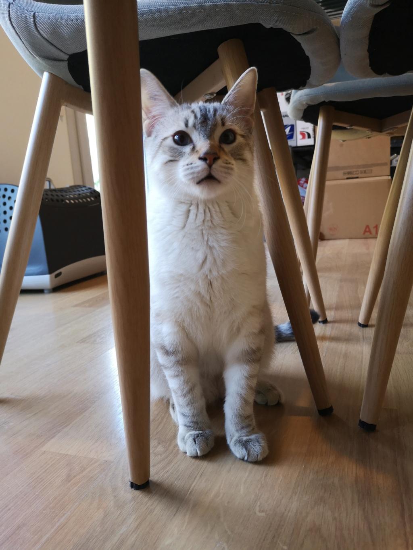ORPHEE, chaton mâle, beige Tabby, né le 01/05/18 15424511