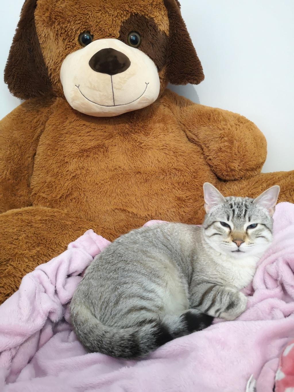 ORPHEE, chaton mâle, beige Tabby, né le 01/05/18 15567310