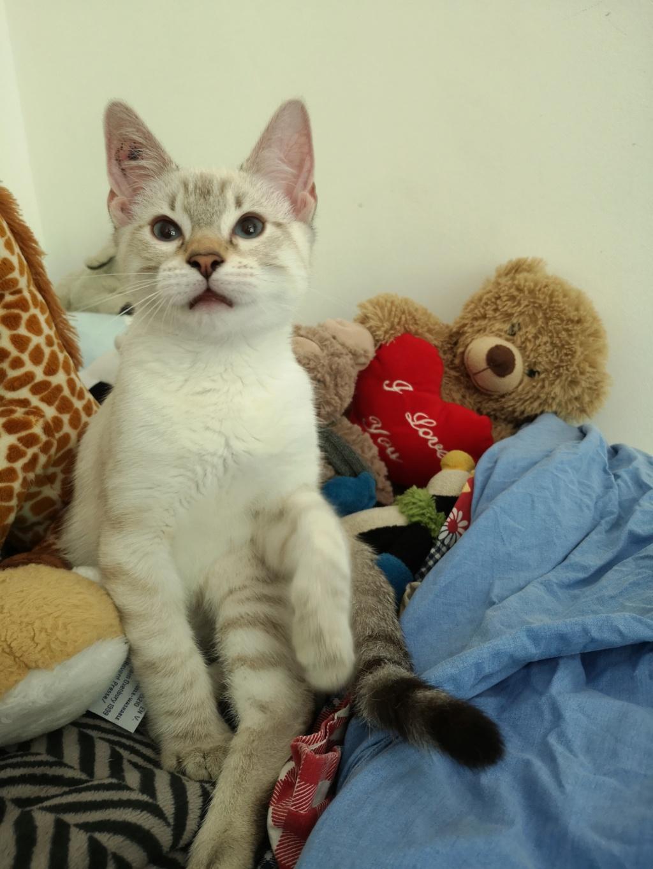 ORPHEE, chaton mâle, beige Tabby, né le 01/05/18 Img_2012