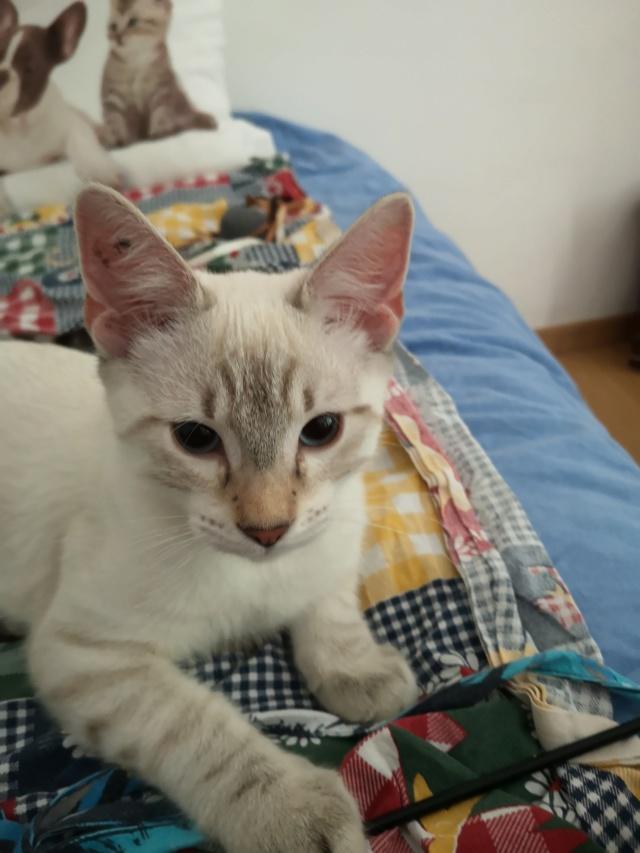 ORPHEE, chaton mâle, beige Tabby, né le 01/05/18 Img_2014