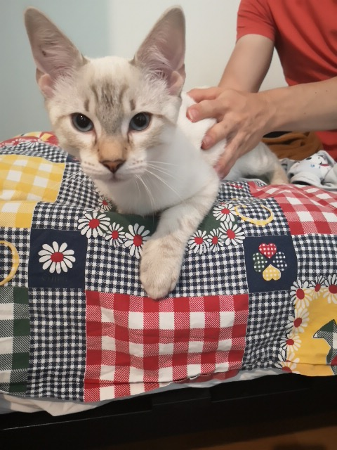 ORPHEE, chaton mâle, beige Tabby, né le 01/05/18 Img_2022