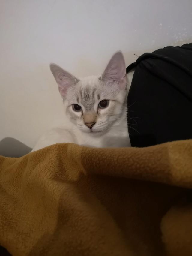 ORPHEE, chaton mâle, beige Tabby, né le 01/05/18 Img_2023