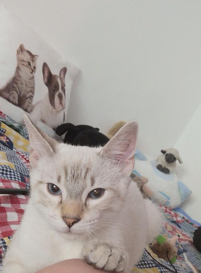 ORPHEE, chaton mâle, beige Tabby, né le 01/05/18 Img_2030