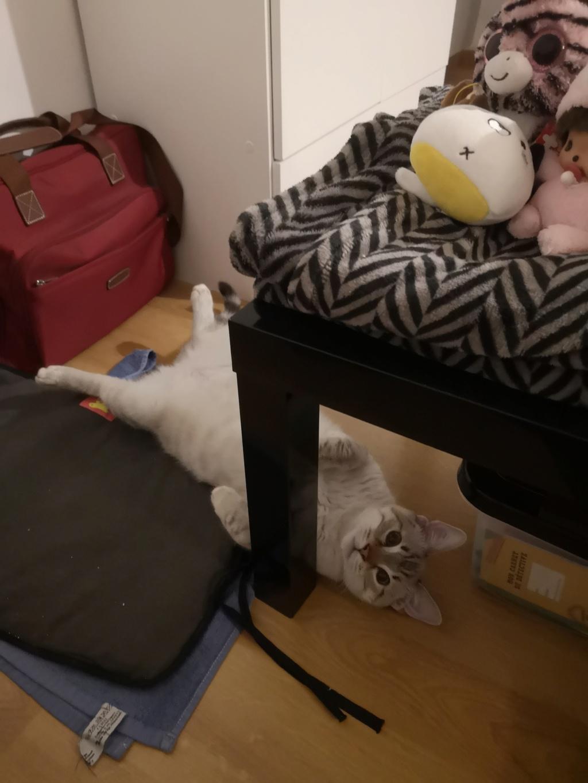 ORPHEE, chaton mâle, beige Tabby, né le 01/05/18 Img_2035