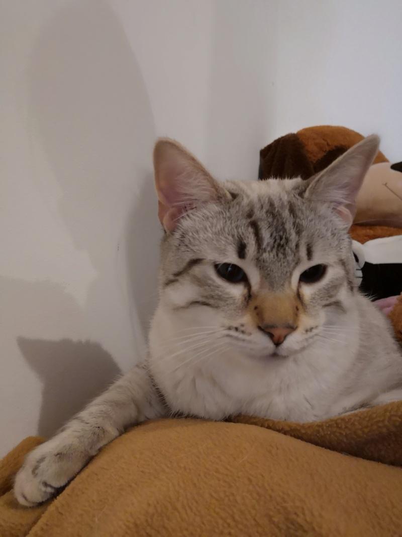 ORPHEE, chaton mâle, beige Tabby, né le 01/05/18 Img_2038