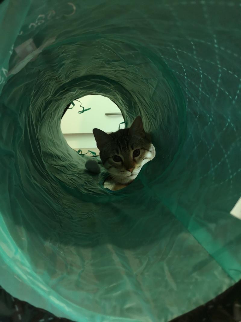 ORPHEE, chaton mâle, beige Tabby, né le 01/05/18 Img_2044