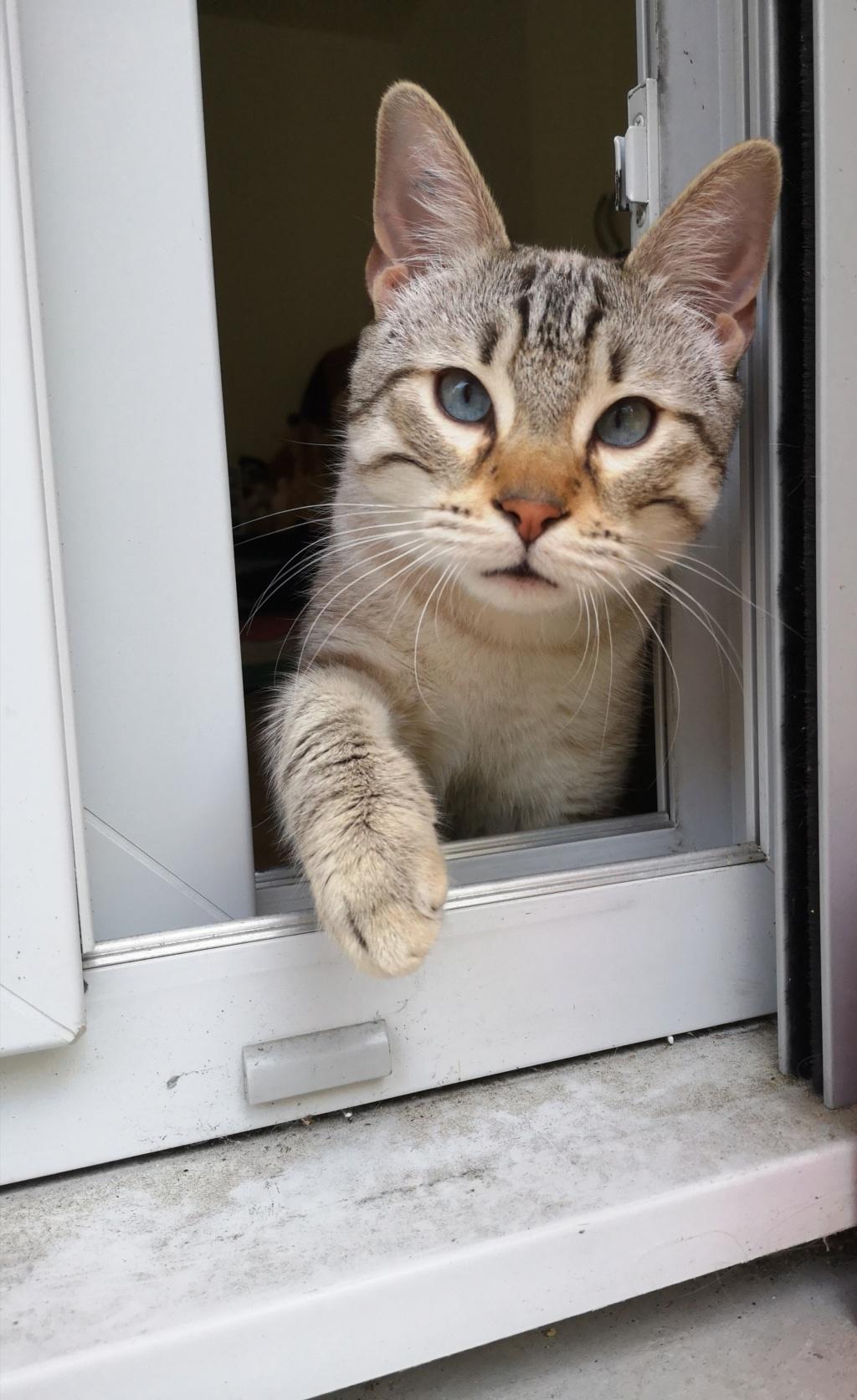 ORPHEE, chaton mâle, beige Tabby, né le 01/05/18 Img_2045