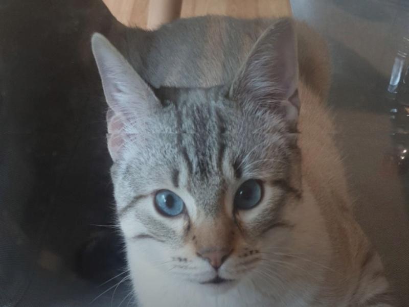 ORPHEE, chaton mâle, beige Tabby, né le 01/05/18 Screen11