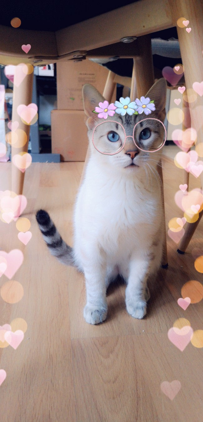 ORPHEE, chaton mâle, beige Tabby, né le 01/05/18 Snapch12