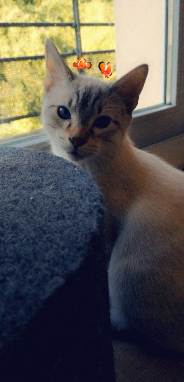 ORPHEE, chaton mâle, beige Tabby, né le 01/05/18 Snapch13
