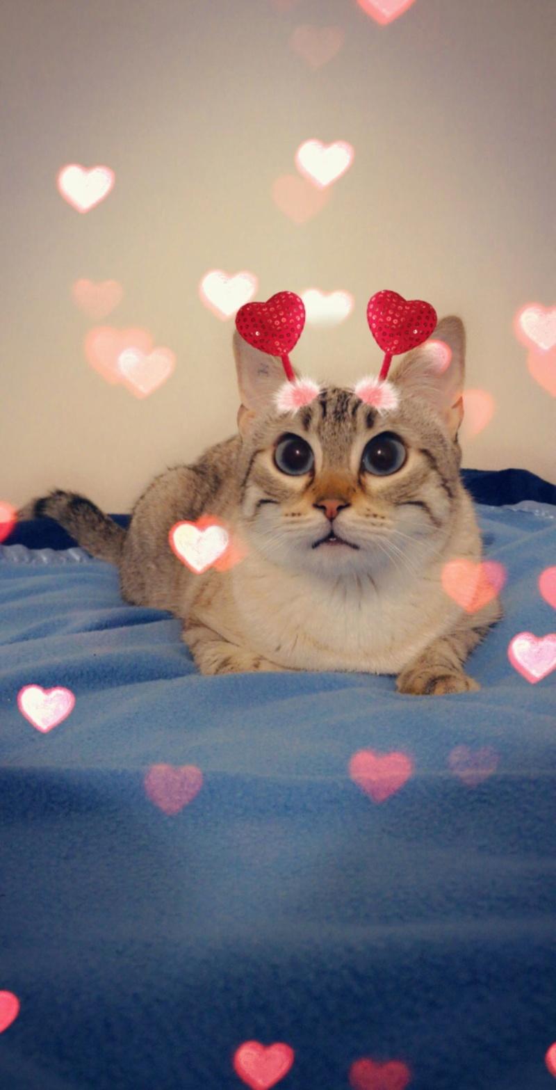 ORPHEE, chaton mâle, beige Tabby, né le 01/05/18 Snapch22