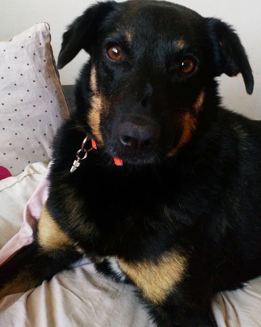 Blackjack - mâle - refuge de Târgu Frumos - réservé adoption (67) 43462110