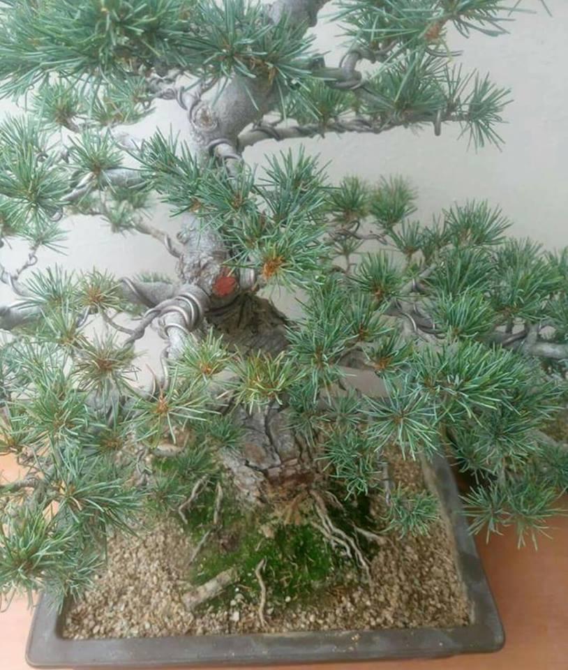 Help please japanese white pine 43018911