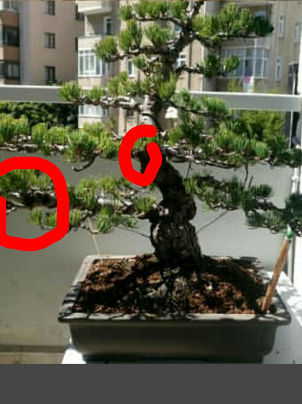 Help please japanese white pine Sketch11
