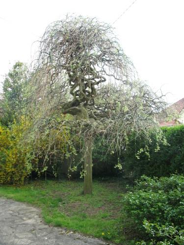 Un arbre japonais ? Sophor10