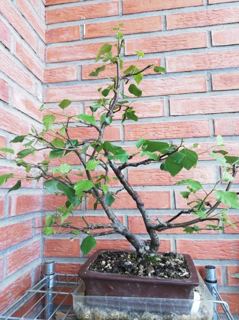 Problema en hojas de abedul Abedul11