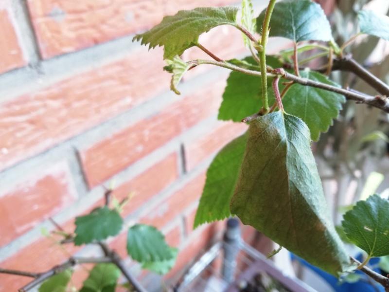 Problema en hojas de abedul Hoja_a11