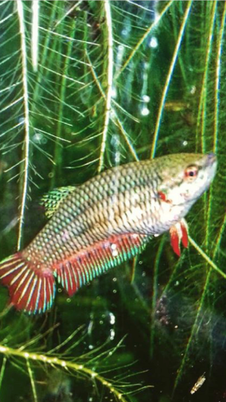 Bettazuz rasbora arlequin dans un 60l? Screen11