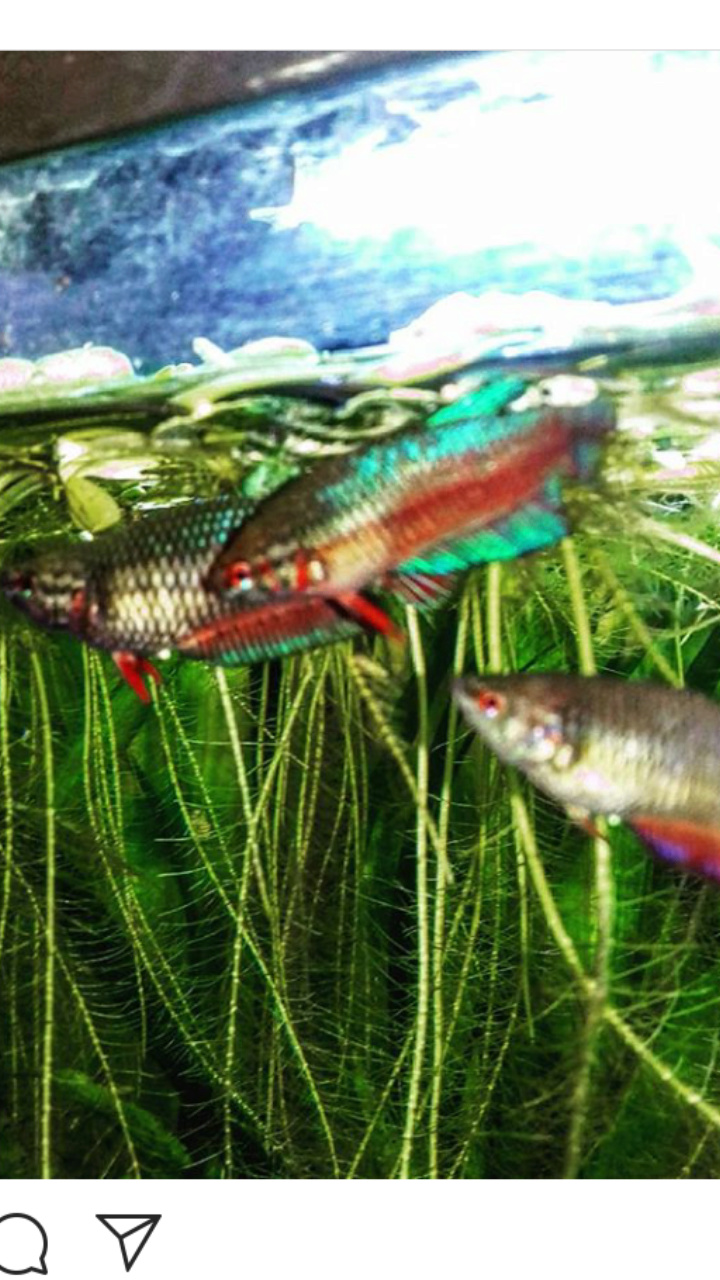 Bettazuz rasbora arlequin dans un 60l? Screen12