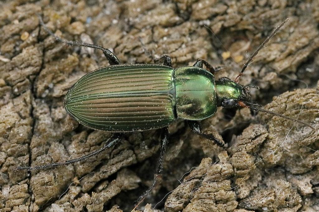 Poecilus cupreus ? F62a8810