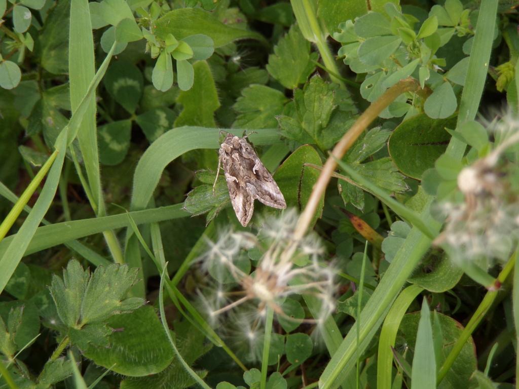 papillon de nuit non identifié 100_4816