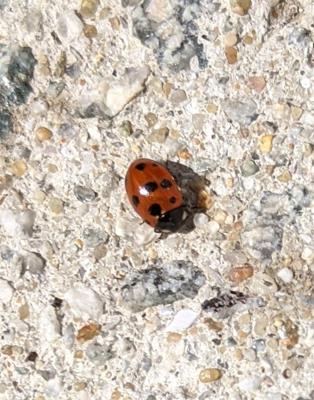 coccinelle Img_2012
