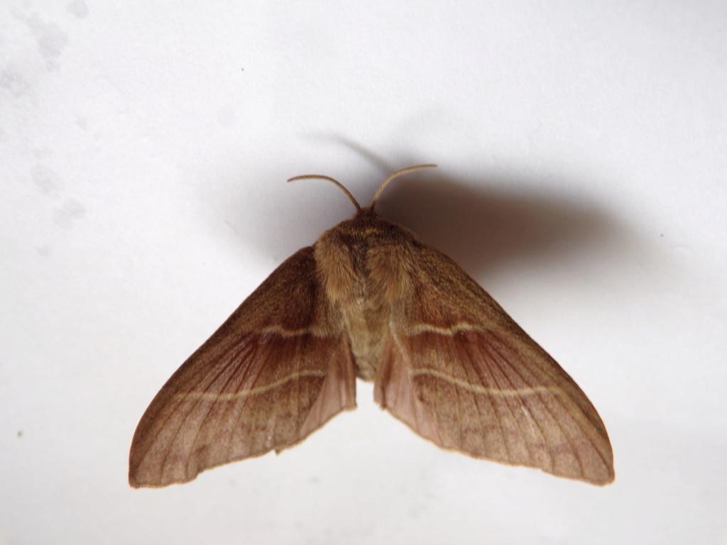 identification papillon Leucan10