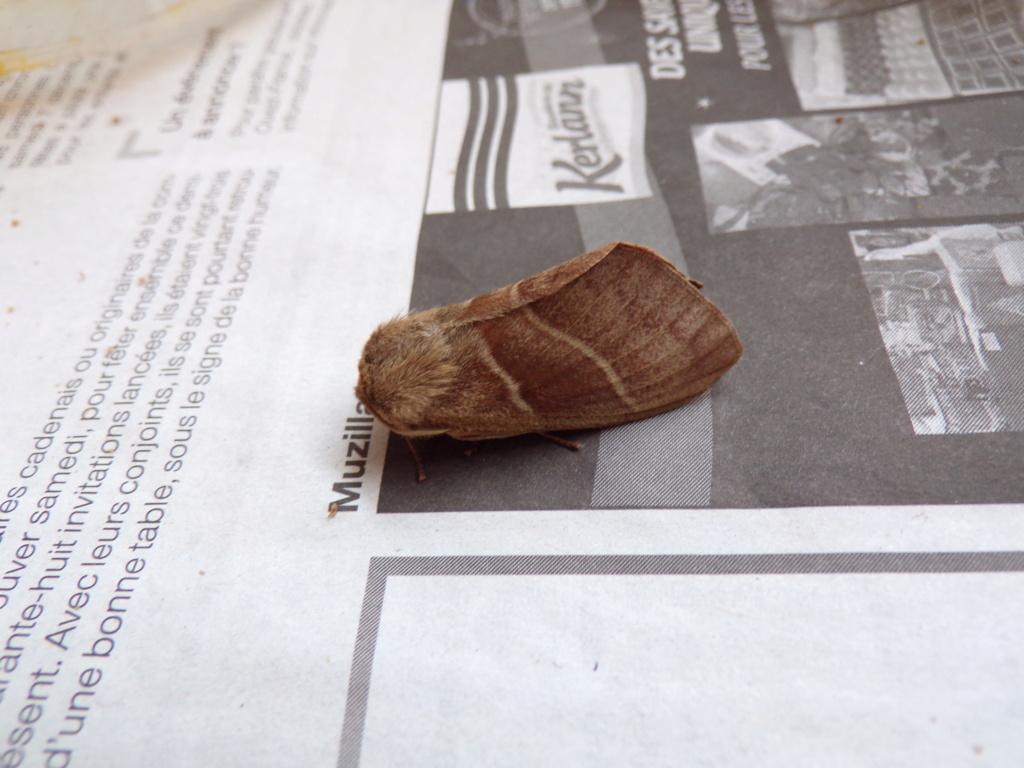 identification papillon Leucan11