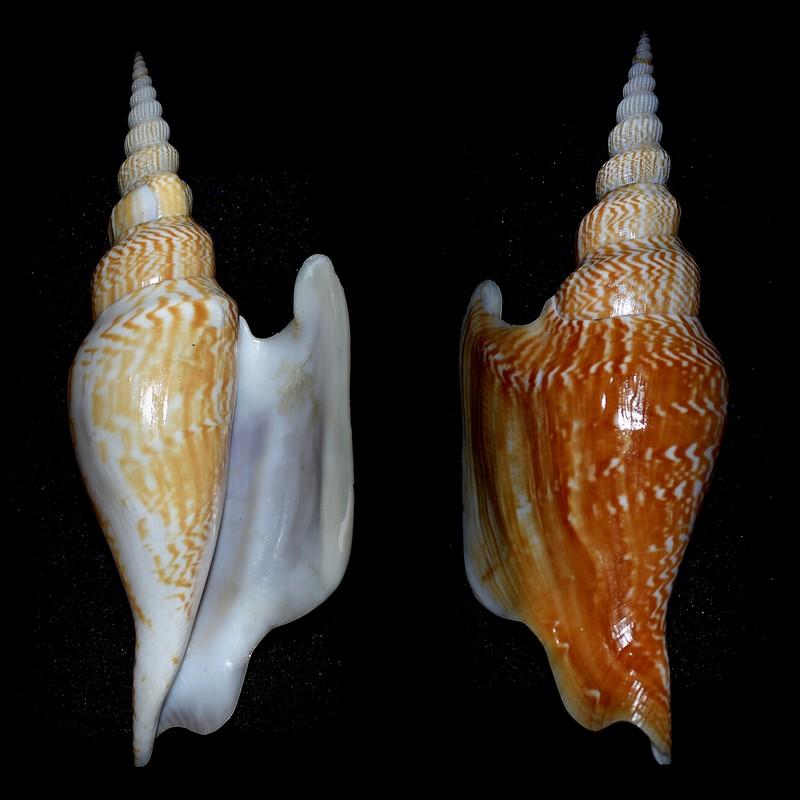 Strombidae Mirabilistrombus listeri - (Gray, 1852) 2021-013