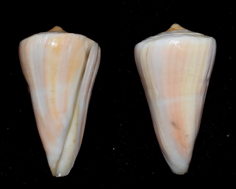 Conus (Dauciconus) virgatus Reeve, 1849. 2021-018