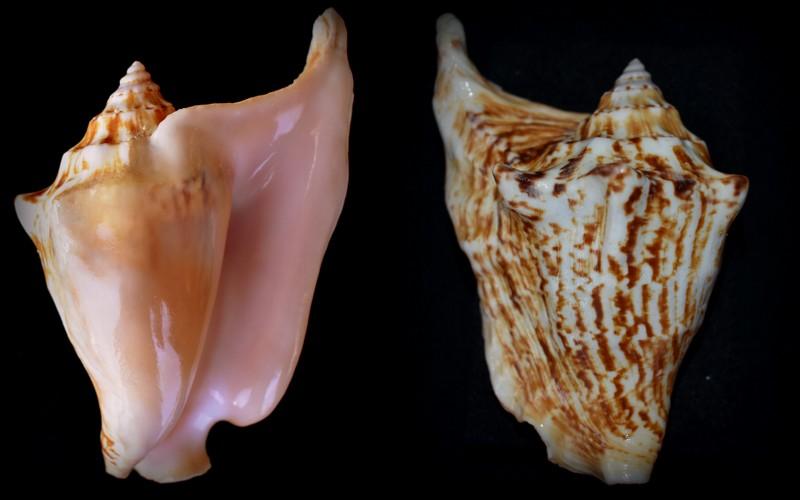 Strombidae Tricornis tricornis - ([Lightfoot], 1786) - Page 2 2021-020